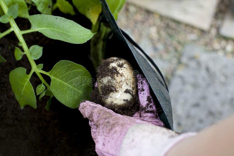 Lyftande potatisar fotografering för bildbyråer