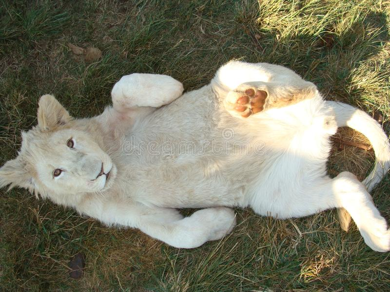 Lying Albino Tiger in the Grass stock photos