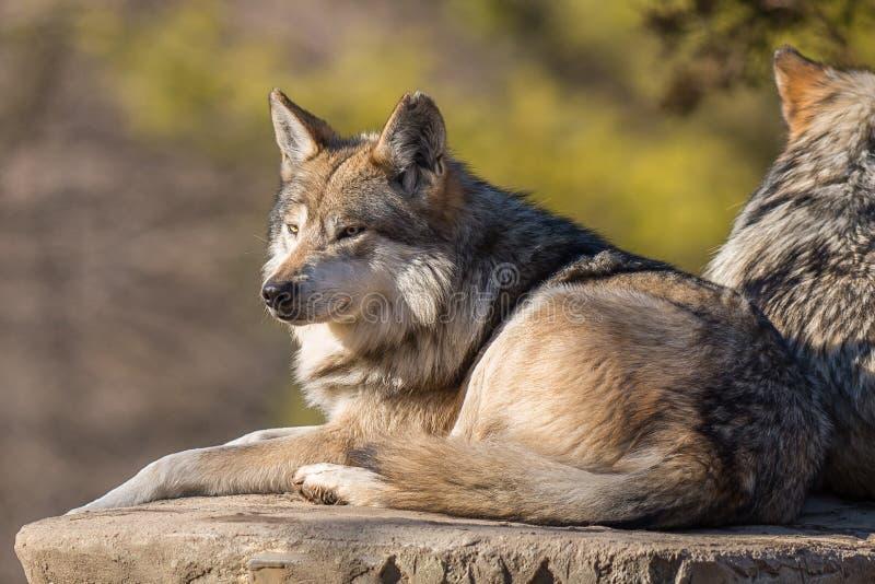 Lying Alert wolf at Brookfield Zoo royalty free stock photos