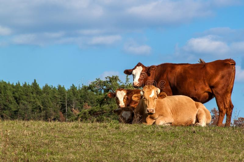 Lying bull on pasture against blue sky. Cattle on the farm. Pasture in the Czech Republic - Europe. Breeding beef touch. stock images