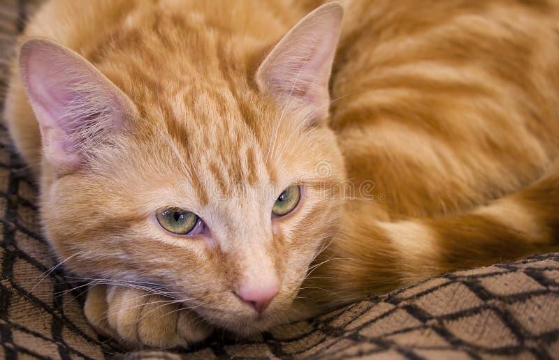 Download Lying Cat Stock Image - Image: 2313851