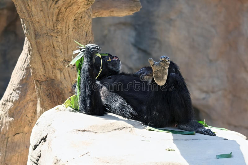 Lying chimpanzee monkey royalty free stock photo