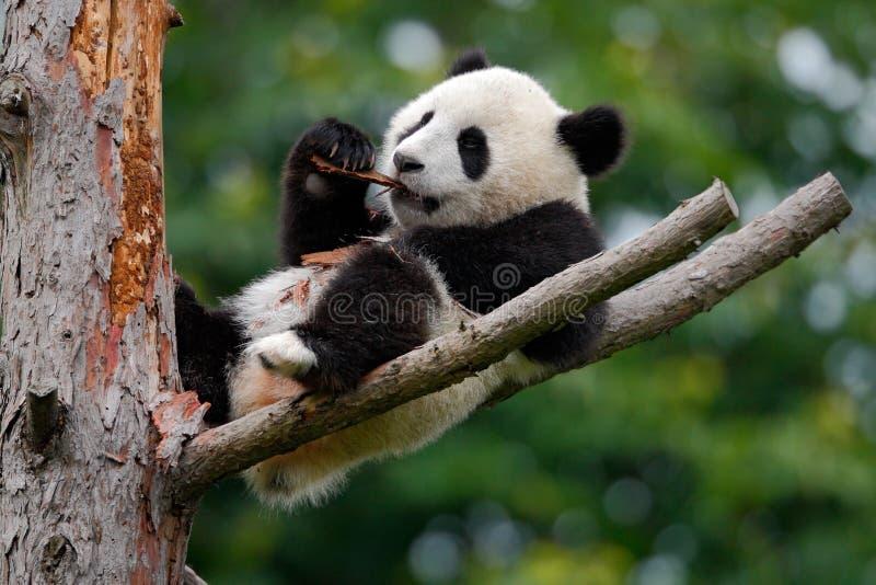 Lying cute young Giant Panda feeding feeding bark of tree. China stock photos