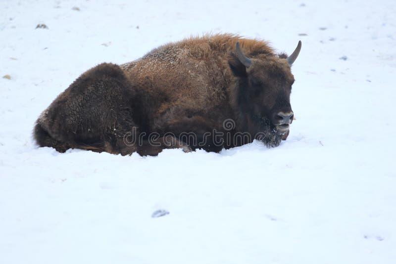 Lying european bison royalty free stock image