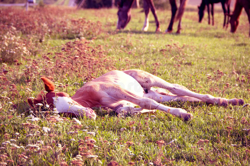 Download Lying foal stock photo. Image of canter, graze, black - 26800290