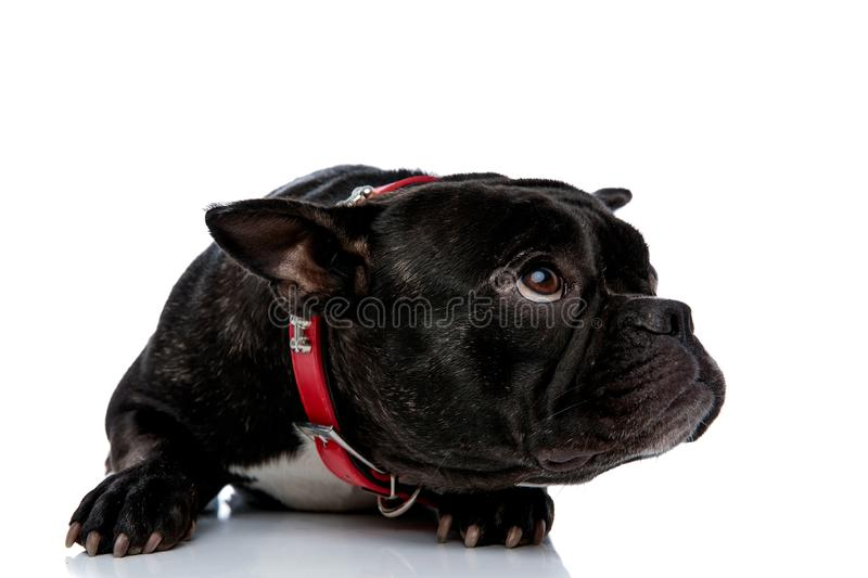 Lying French bulldog looking up with bowed head. Delightful little French bulldog with red leash and black white fur laying down and looking up with a curious stock image