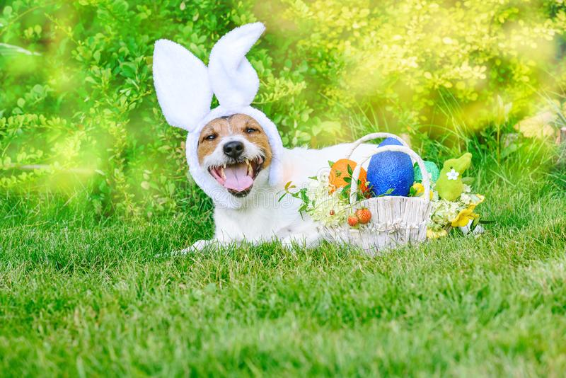 Lying on grass dog as happy bunny ready for Easter Pascha parade stock photography