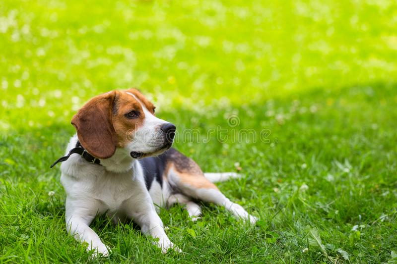 Lying on green grass dog royalty free stock image