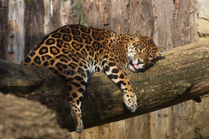 Lying jaguar royalty free stock image