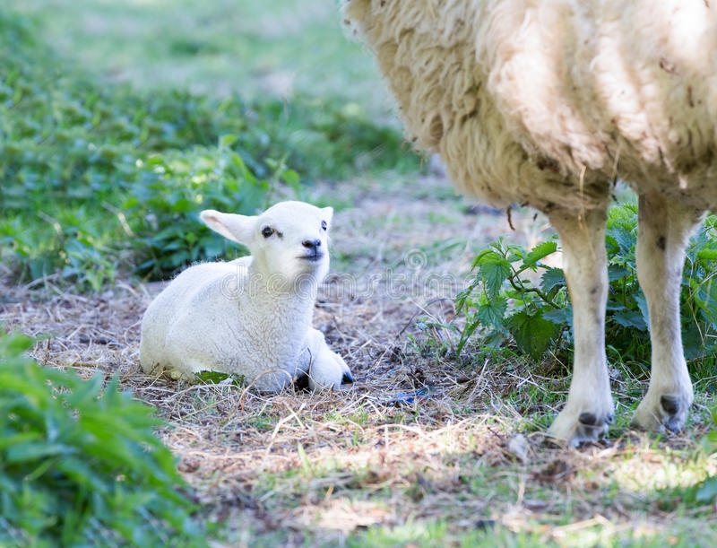 Lying lamb with legs of mother sheep stock photos