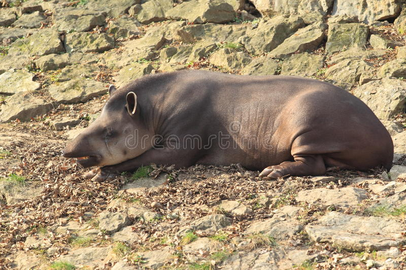 Lying lowland tapir. The lying adult of lowland tapir on the rocky ground stock image