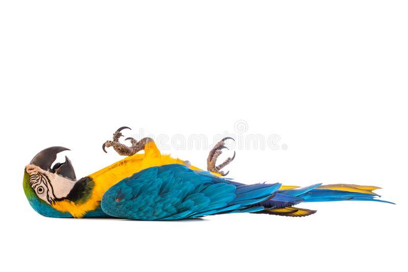 Macaw Parrot bird lying on the ground, isolated on white. Lying Macaw Parrot isolated on white background royalty free stock photography