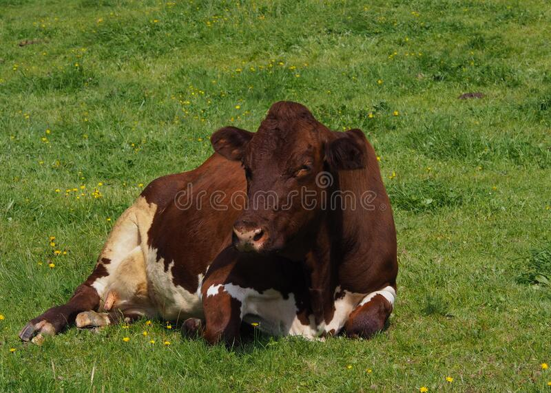 Lying milk cow on a mountain pasture. In summer time royalty free stock photos