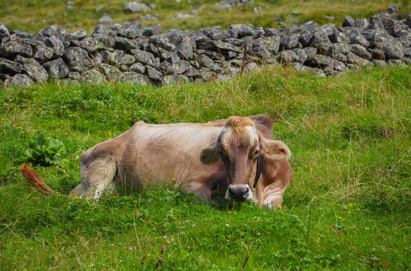 Lying milk cow on a mountain pasture. In summer stock photos