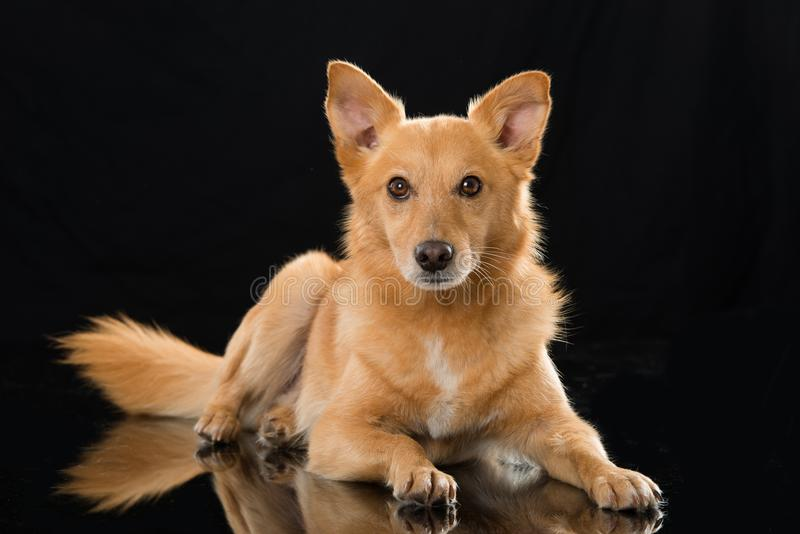 Lying mixed breed dog on black background. Brown mixed breed dog lying on a black background and looking to camera stock images