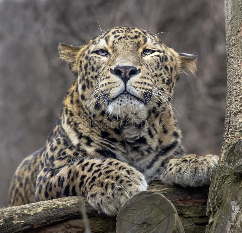 Lying persian leopard stock images