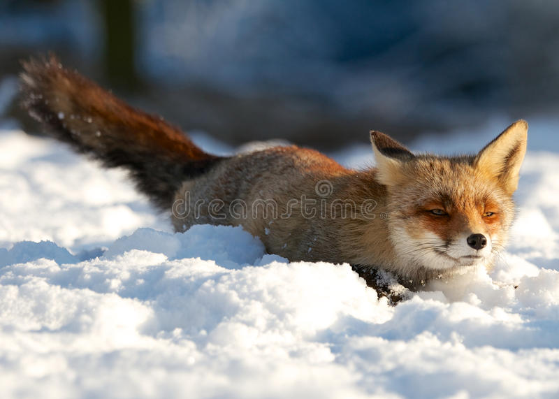 Lying. A photo of Fox in the snow royalty free stock photography
