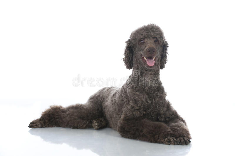 Lying poodle. Isolated on white royalty free stock images