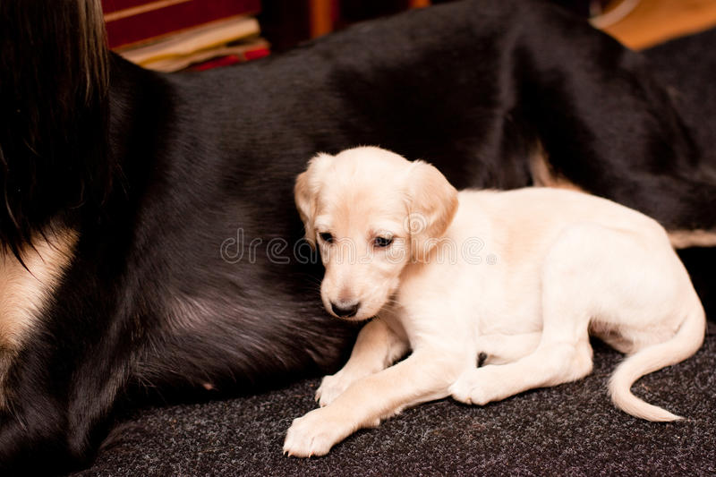 Lying saluki pup. A white saluki pup lying near its mother on carpets royalty free stock image
