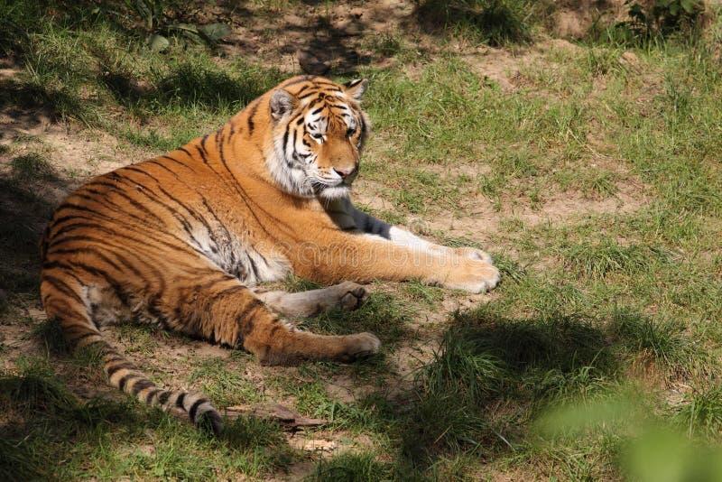Download Lying siberian tiger stock image. Image of beast, tigris - 21227669