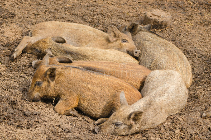 Lying small wild pigs royalty free stock images
