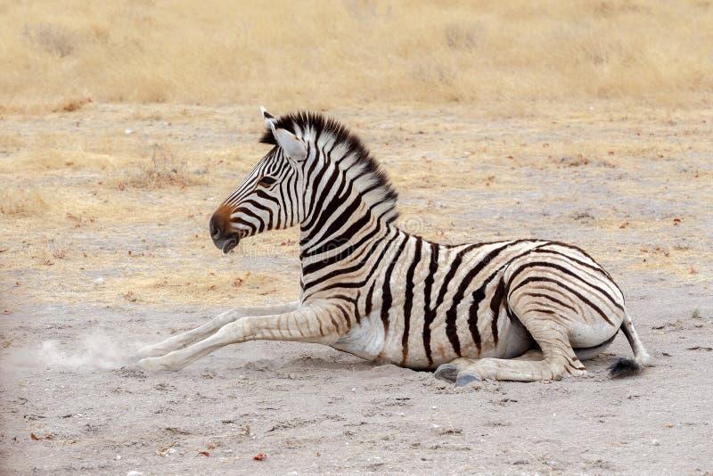 Lying small Zebra in african bush stock image