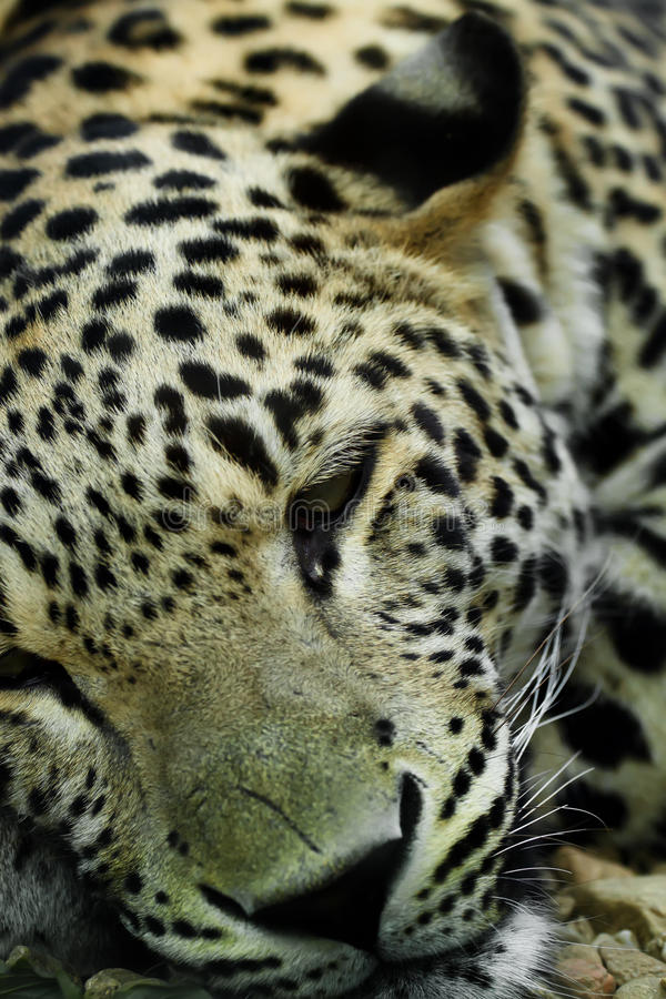 Download Lying Snow Leopard Irbis stock photo. Image of ahead - 17590378