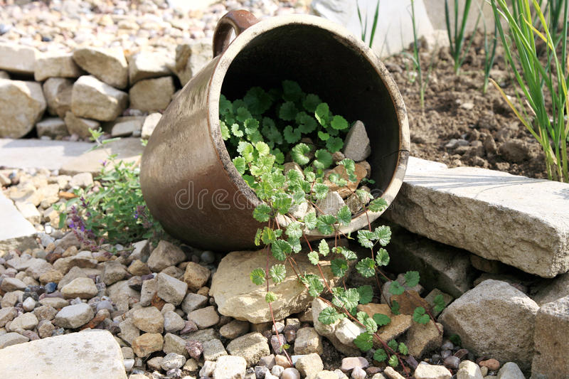 Lying stoneware with Glechoma hederacea and catnip. Eco-friendly, herbal formal garden backyard. Lying stoneware with Glechoma hederacea and catnip on the gravel royalty free stock photo