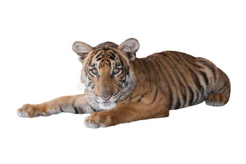 Lying tiger cub royalty free stock image