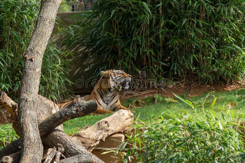 Lying tiger stock images
