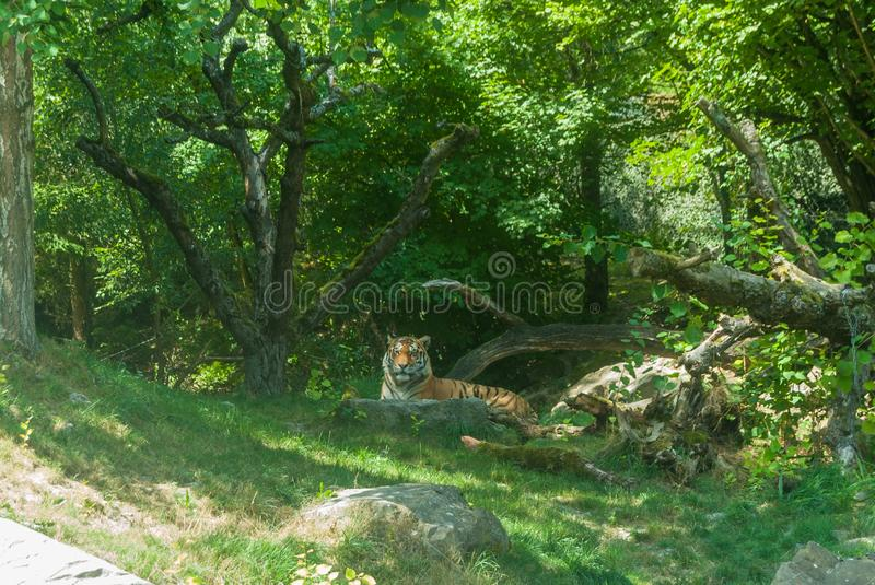 Lying tiger in zoo on green trees background stock images