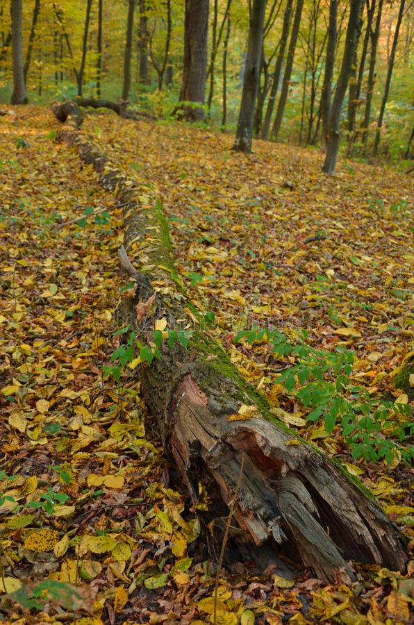 Lying tree trunk with autumn leaves in the woods. Lying tree trunk with autumn yellow leaves in the woods stock image