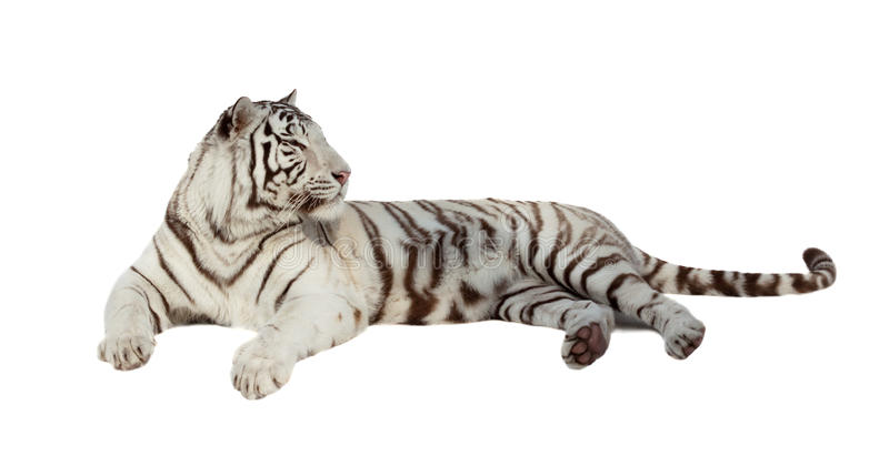 Lying white tiger. Isolated over white royalty free stock photo