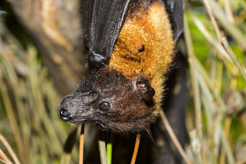 Lylei de Pteropus du Fox volant de Lyle photographie stock libre de droits