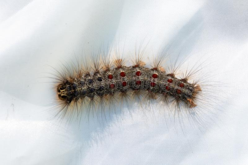 Lymantria dispar, the gypsy moth caterpiller at Pinery Provincial Park, Ontario Canada on a white background royalty free stock photo