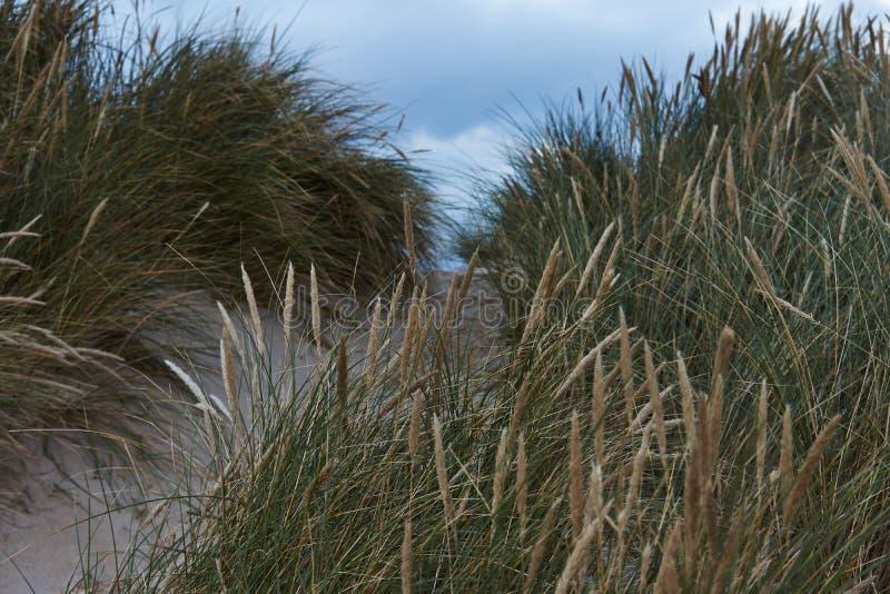 Lyme gräs i dyerna på Nordsjönkusten i Danmark arkivbild