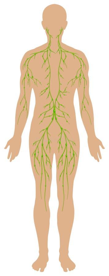 Lymfatisch diagram in menselijk wezen royalty-vrije illustratie