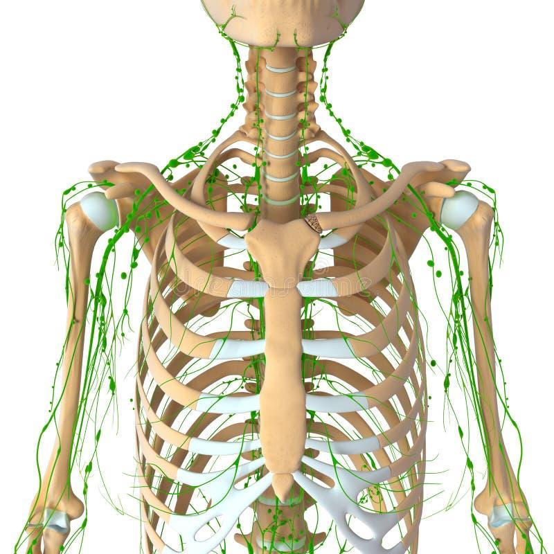 Lymfatisch systeem vector illustratie