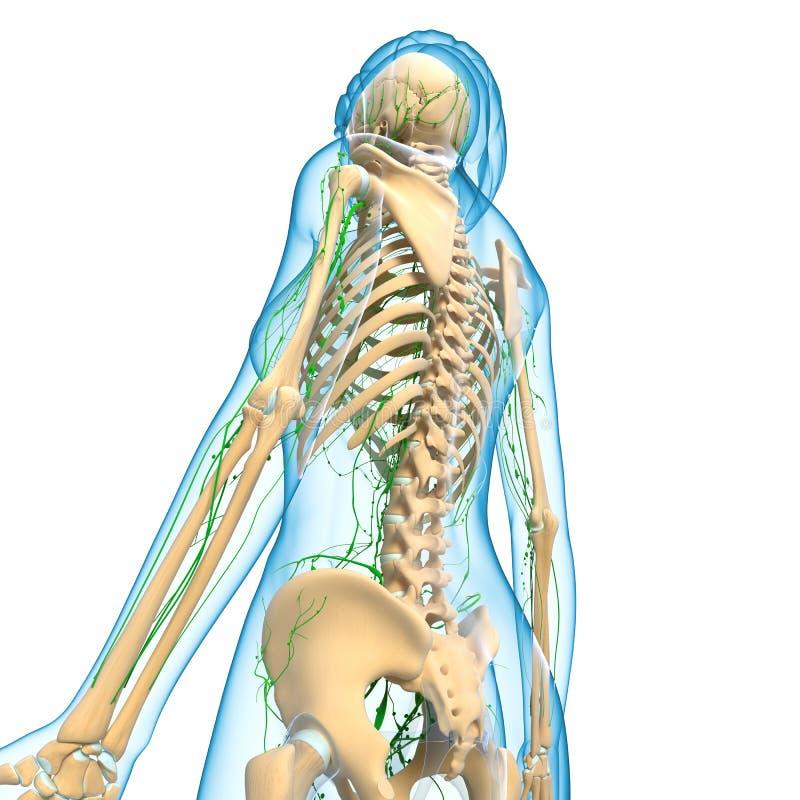 Lymfatiskt system av den kvinnliga kroppen royaltyfri illustrationer