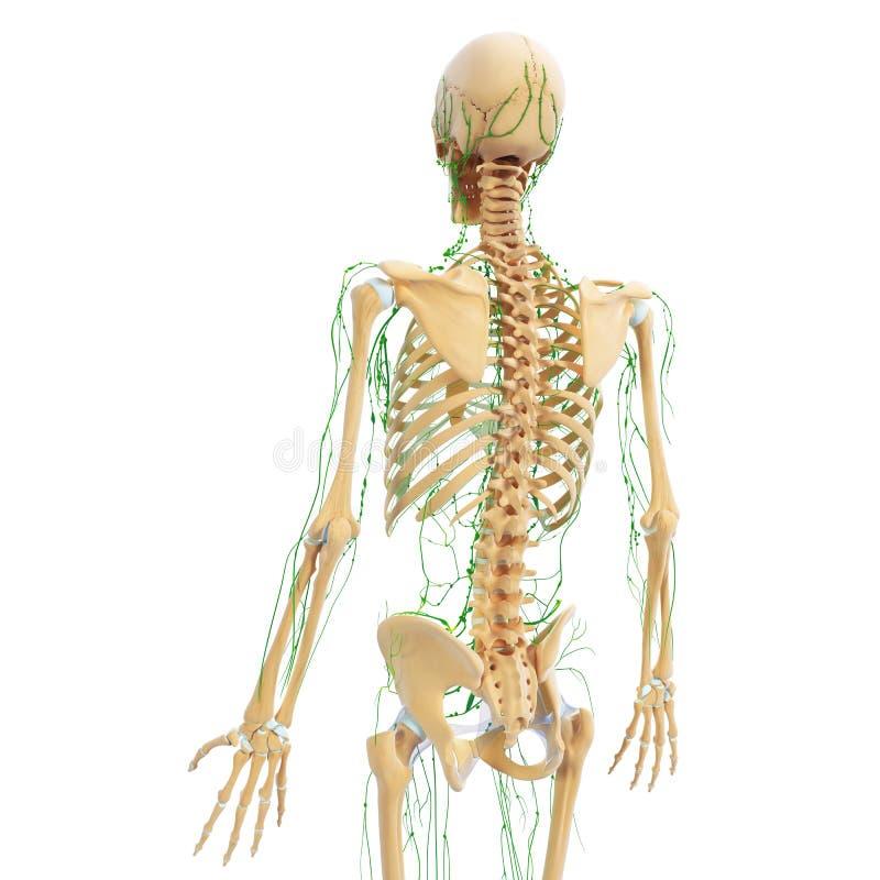 Lymfatiskt system för manbaksidasikt med skelettet royaltyfri illustrationer