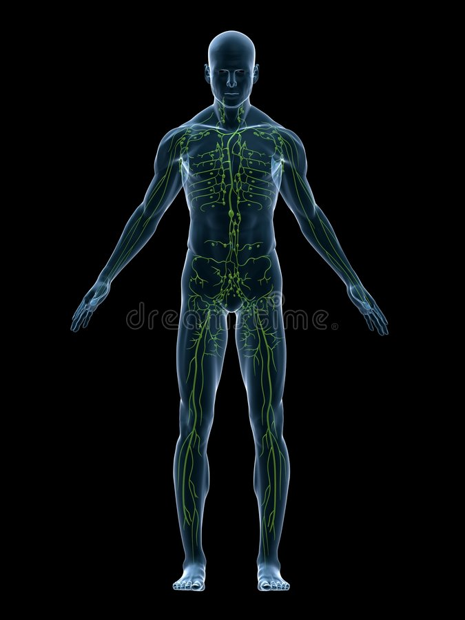 lymphatic system vektor illustrationer