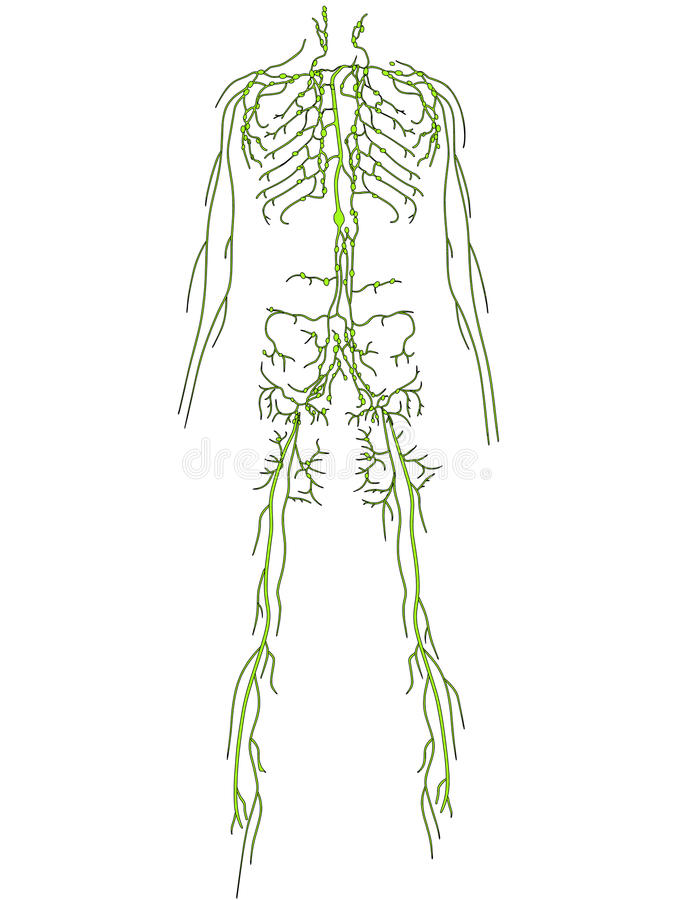 lymphatic system royaltyfri illustrationer