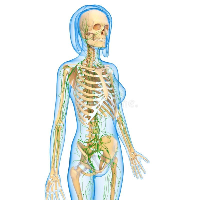 Lymphatic system av den kvinnliga huvuddelen vektor illustrationer