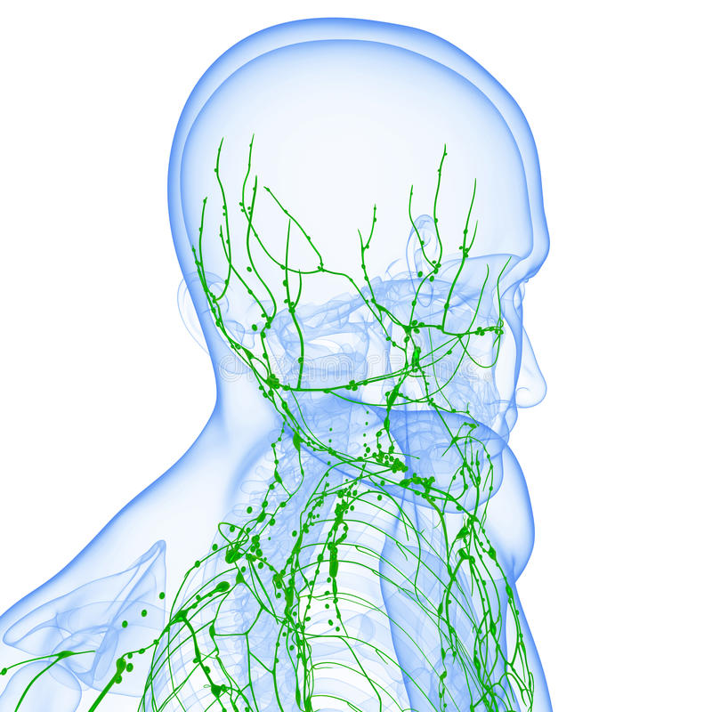 Lymphatic system av den male huvuddelen som isoleras med white stock illustrationer