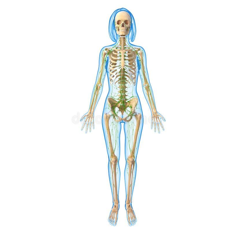 Lymphatic system av kvinnlign med vit bakgrund vektor illustrationer