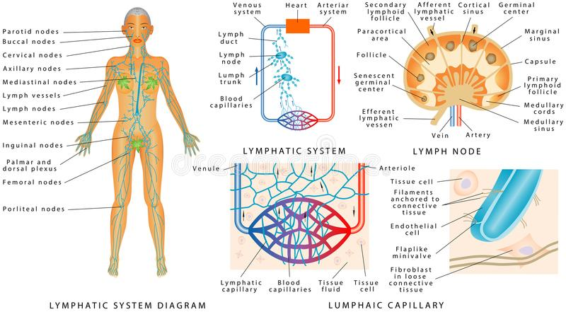 Lymphatic system stock vector. Illustration of capillaries - 110004217