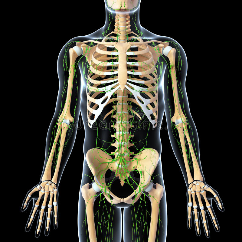 Download Lymphatic System With Front View Of Skeleton Stock Illustration - Image: 25932650