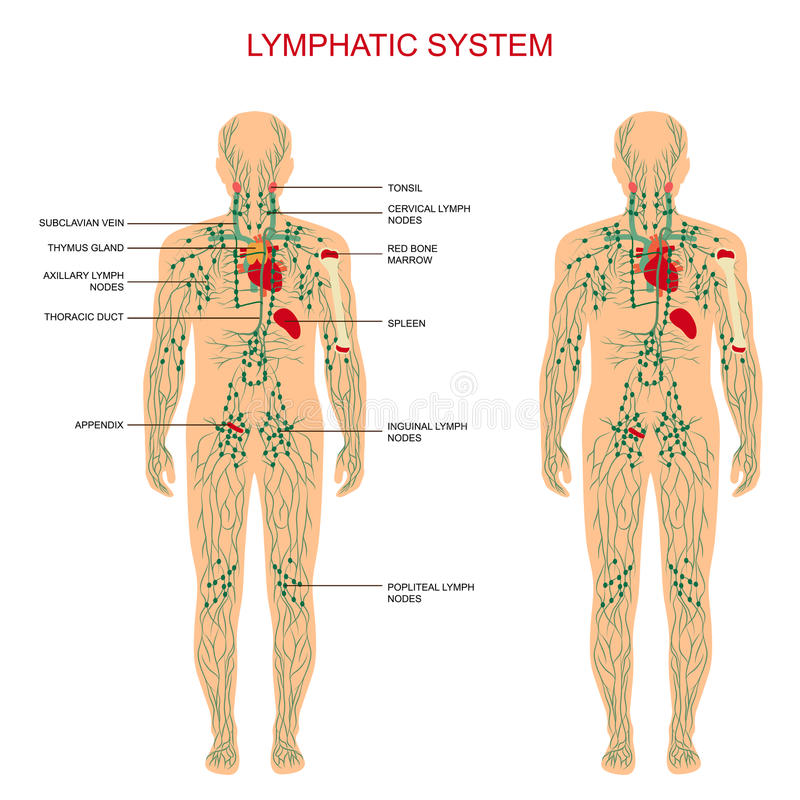 Lymphatic system,. Human anatomy, lymphatic system, medical illustration, lymph nodes