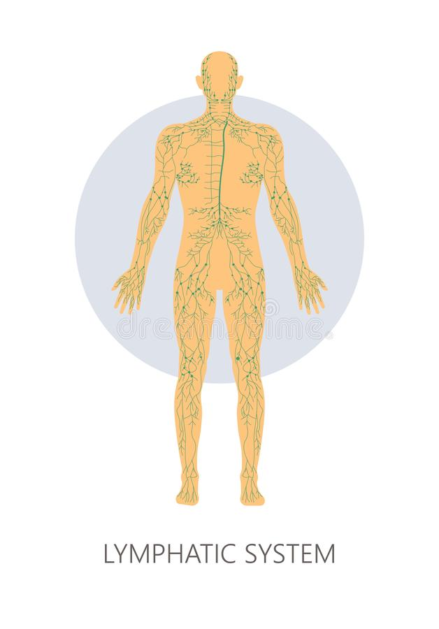 Lymphatic system isolated anatomical structure medicine and healthcare stock illustration