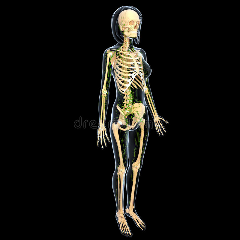 Download Lymphatic System Of Side View Of Female Full Body Stock Illustration - Image: 25933403